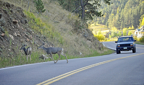 Deer collisions can affect your insurance rates